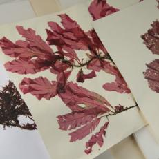 Herbier d'algues rouges [© 2010 Carlos Munoz Yague Look At Sciences]