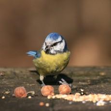 mesange_bleue-_bois_de_vincennes-