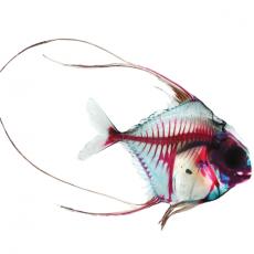 Brandon Ballengée, Ghosts of the Gulf: Pompano, 2014, Giclée-Druck, auf handgeschöpftem japanischen Reispapier, 45,72 x 61 cm, © Brandon Ballengée
